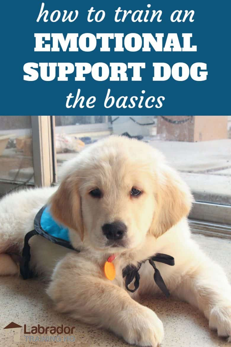 How to train an emotional support dog the basics - Golden Retriever puppy in down position on the floor wearing light blue vest.