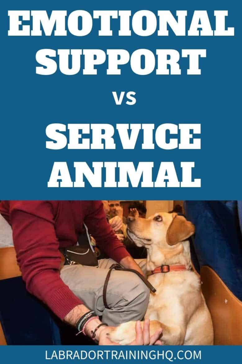 Emotional Support vs Service Animal - Yellow Lab puppy sitting at feet offering his paw.