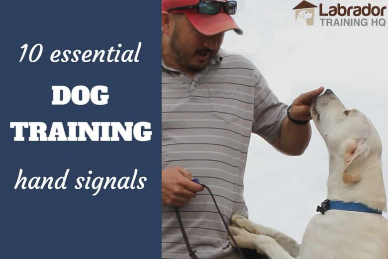10 Essential Dog Training Hand Signals - Labrador Retriever touches fingers with his nose.