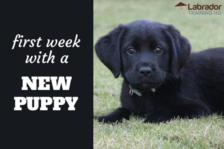 First Week With A New Puppy - Black Labrador Retriever puppy lying down in the grass staring at you.