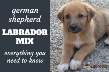 Everything You Need To Know About German Shepherd Lab Mix Dogs