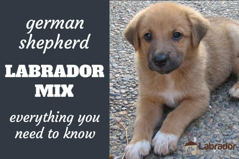 German Shepherd Labrador Mix - Everything You Need To Know - pic of GSD/Lab Mix puppy with a yellow colored coat, dark grey muzzle, white blaze on chest, and white paws look like socks. She's lying down on a pebbled surface.