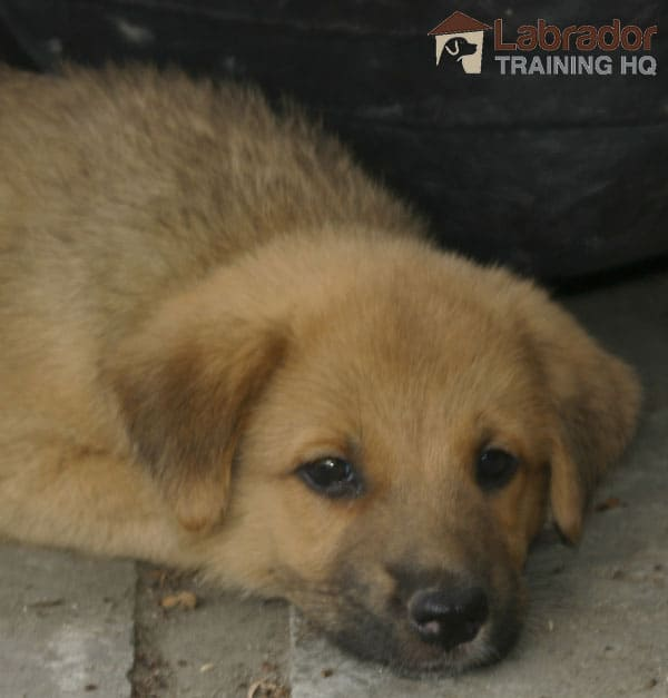 GSD Lab Mix Puppy - Yellow/Brown Puppy with some dark grey in muzzle lying on the floor.