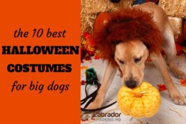 What Are The Best Halloween Costumes For Big Dogs?