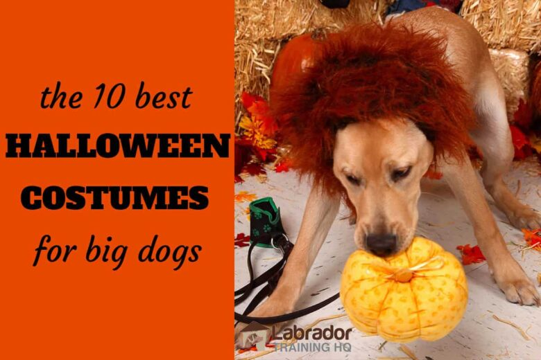 The 10 Best Halloween Costumes For Big Dogs. Yellow Lab puppy with lion's mane carrying around pumpkin dog toy.