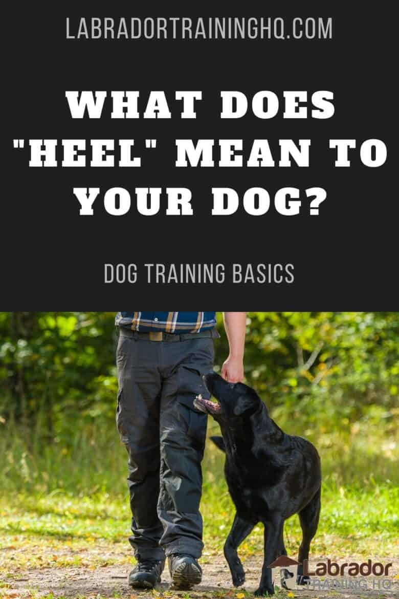 "What Does ""Heel"" Mean To Your Dog? - Black Lab in the heel position."