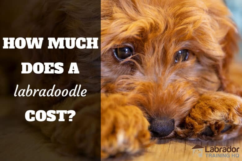 How Much Does A Labradoodle Cost? - brown Labradoodle lying on floor with head between paws.