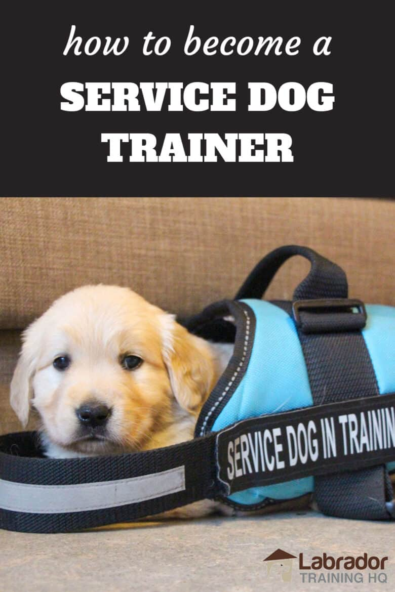 How To Become A Service Dog Trainer - Golden Retriever puppy wearing a service dog in training jacket that's way to big for him.