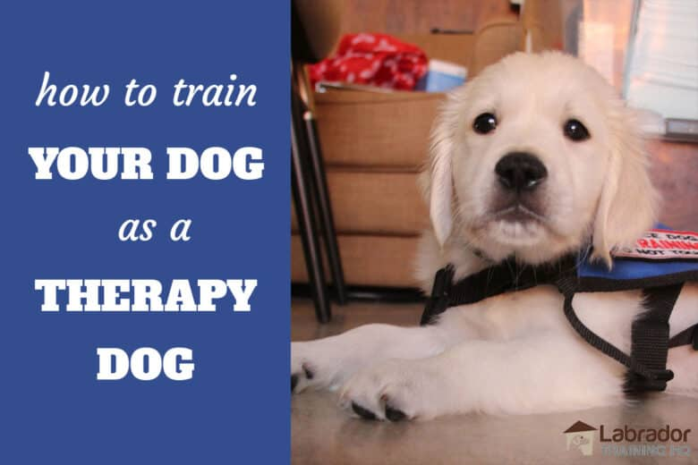 How To Train Your Dog As A Therapy Dog - English Cream Golden Retriever puppy in a down wearing a therapy dog jacket.