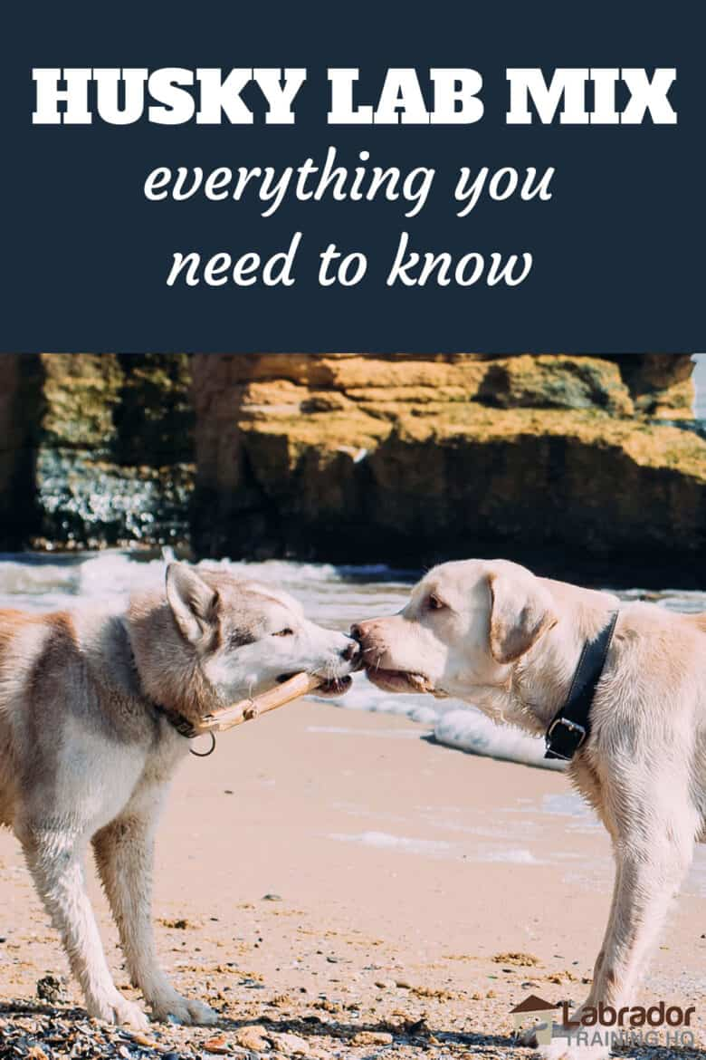 Husky Lab Mix Everything Your Need To Know - A Husky and Yellow Labrador Retriever play tug of war with a stick on the beach.