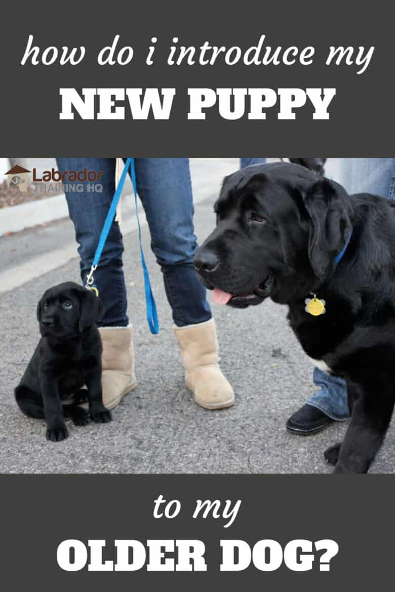 How Do I Introduce My New Puppy To My Older Dog? - Adult Black Labrador Retriever standing next to a sitting black Lab puppy