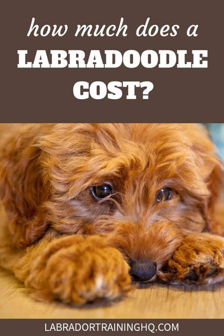How Much Does A Labradoodle Cost? - labradoodle puppy lying on the floor with head between his paws.
