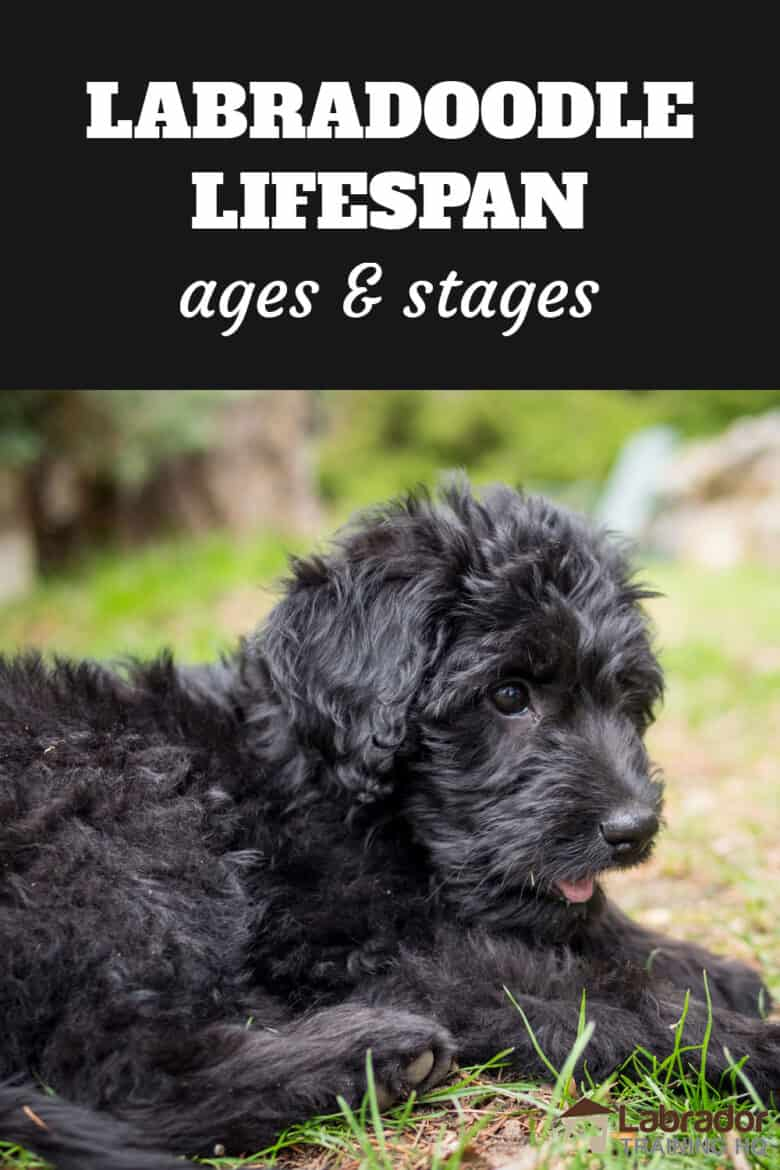 Labradoodle Lifespan Ages And Stages - black Labradoodle puppy in a down stay in the grass.