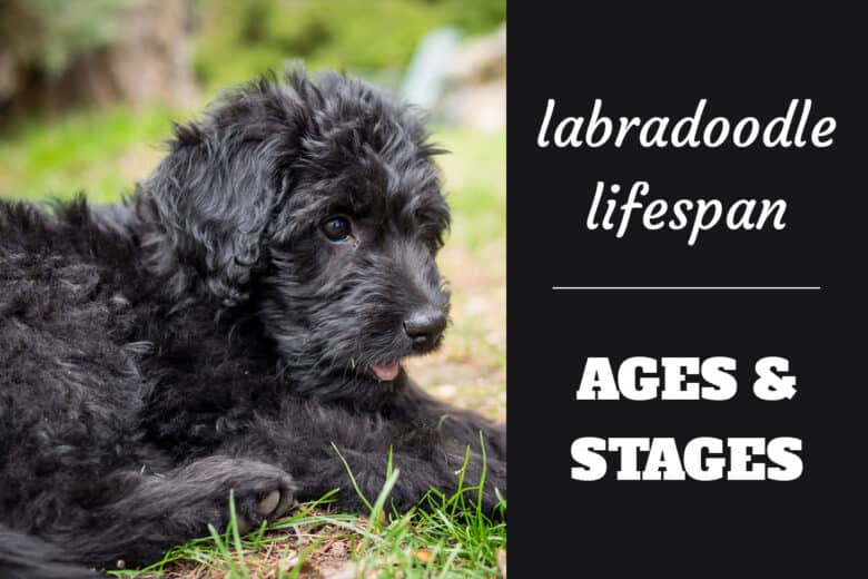 Labradoodle Lifespan - Ages & Stages - Black Labradoodle puppy lying down in the grass.