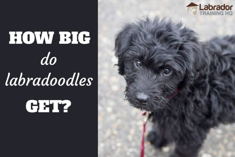 How Big Dog Labradoodles Get? - Black Labradoodle standing looking towards camera.