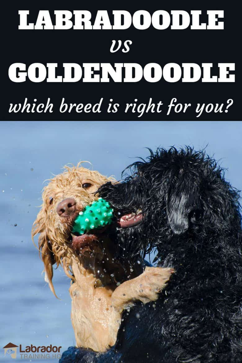Labradoodle vs Goldendoodle which breed is right for you? - Light brown and black curly coated dogs do battle for a green squeaky toy.