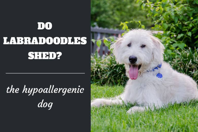 Do Labradoodles Shed? The Hypoallergenic Dog - White Labradoodle in a down stay in the grass.