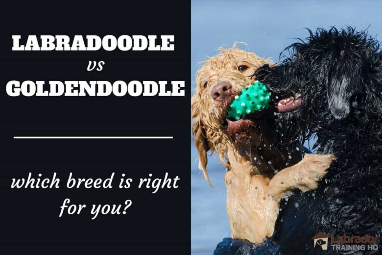 Labradoodles vs Goldendoodles whic breed is right for you? Two wet curly coated dogs do battle over a little green squeaky toy.