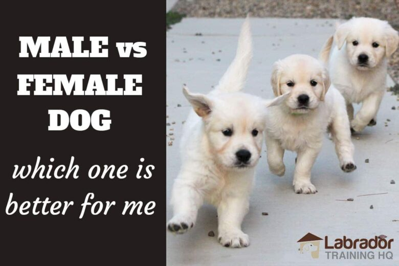 Male vs Female Dog Which One Is Better For Me? - Three English Cream Golden Retriever puppies charging towards the camera.
