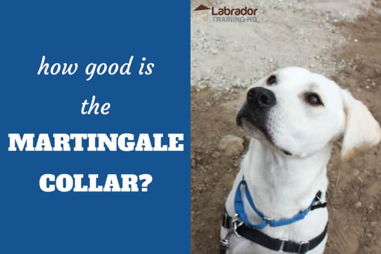 How Good Is The Martingale Collar? - Yellow Labrador Retriever staring up at the LTHQ logo.