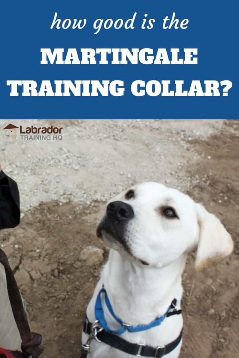 How Good Is The Martingale Training Collar? - Yellow Lab wearing martingale training collar and harness staring back up at his trainer.