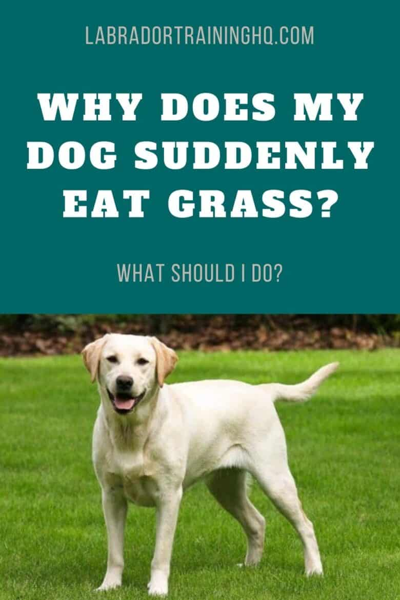 Why Does My Dog Suddenly Eat Grass? What Should I Do? - Yellow Labrador Retriever standing in a field of green grass.