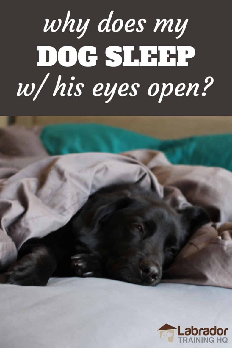 Why Does My Dog Sleep With His Eyes Open? - Black Lab lying down in bed with his eyes slightly opened.
