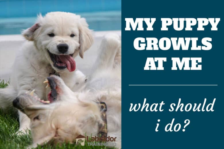My Puppy Growls At Me, What Should I Do? - Puppy making snarling face at older dog lying on the ground.