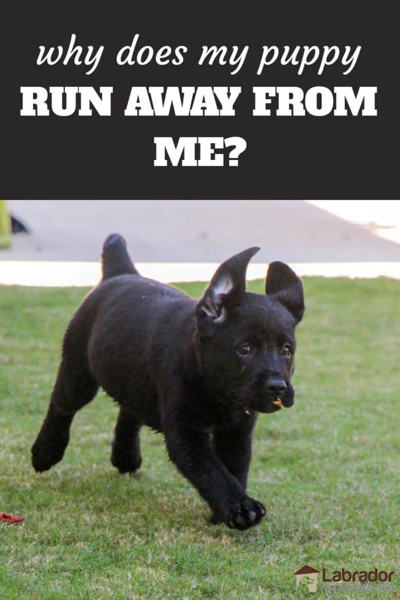 Wby Does My Puppy Run Away From Me And What Should I Do? Black Labrador Retriever puppy running  across the grass with leaf in her mouth.