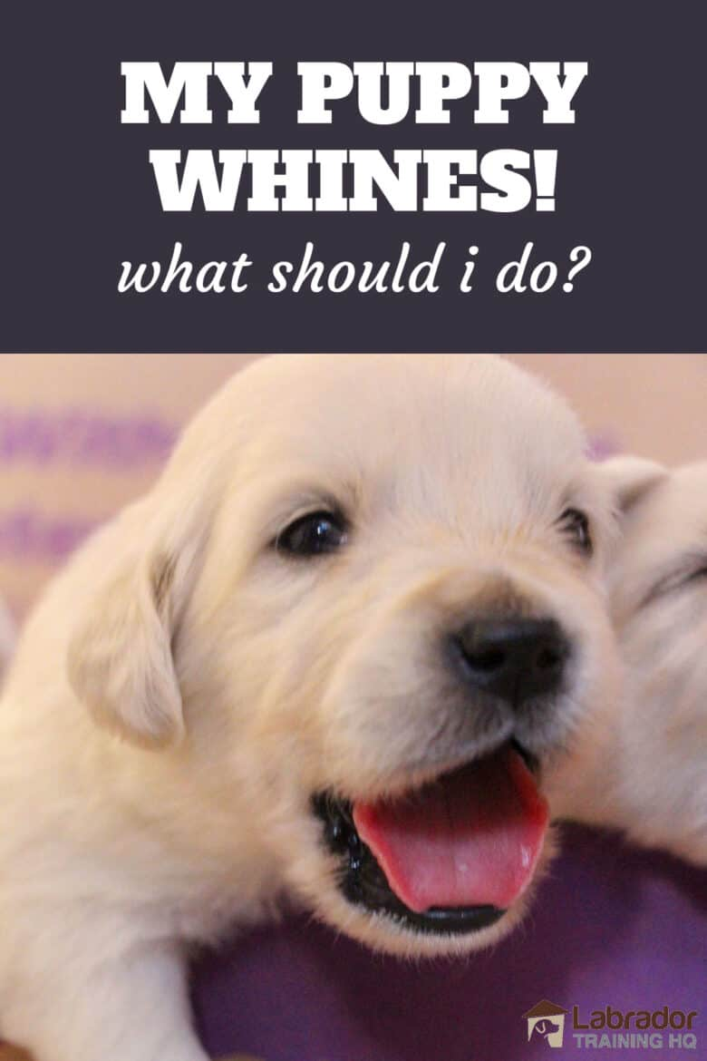My Puppy Whines! What Should I Do? - Yellow puppy has mouth wide open getting ready to whine.