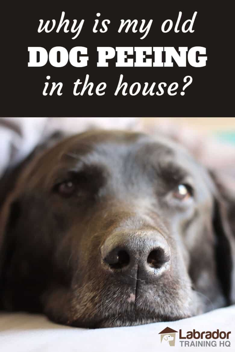 Why Is My Old Dog Peeing In The House? - Older black Labrador Retriever lying d