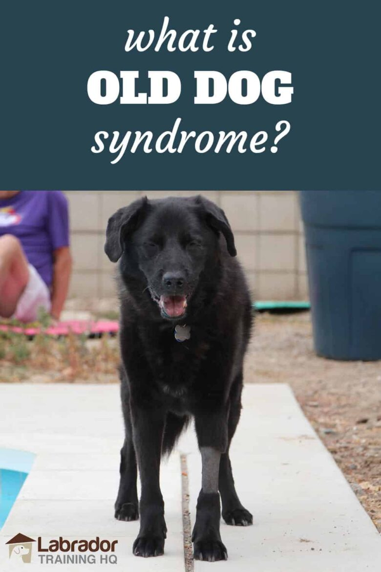 What Is Old Dog Syndrome? - Senior black Lab mix dog with front leg shaved stands on concrete.