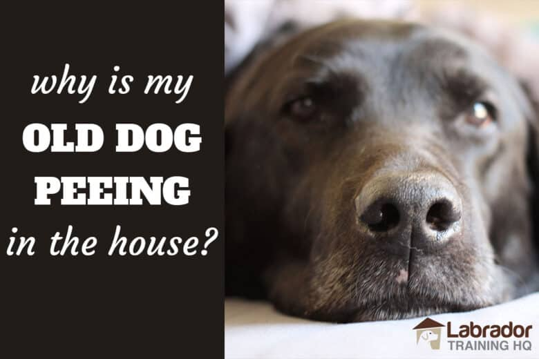 Why Is My Old Dog Peeing In The House? - older black Labrador lying down. We only see his head and grey muzzle.
