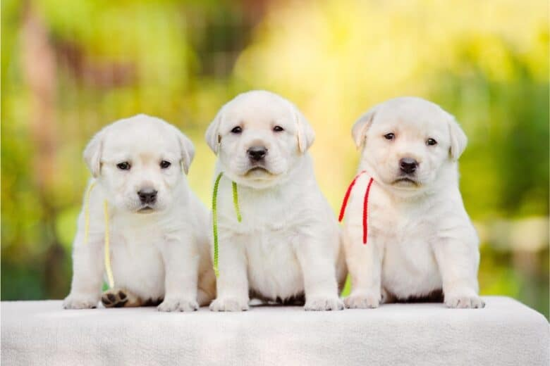 Perfect puppy - 3 yellow (white) labrador retriever puppies sitting in a row.