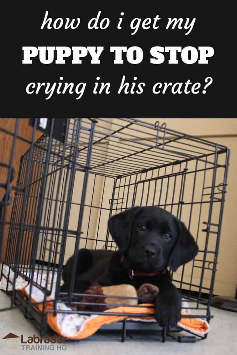 How Do I Get My Puppy To Stop Crying In His Crate? - Black Lab puppy lying down in his crate with door open.