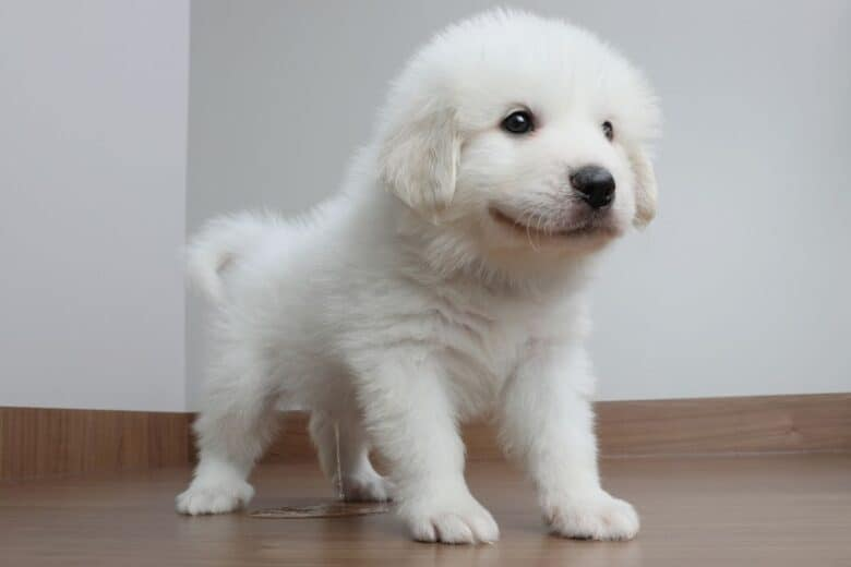 White fluffy pupy peeing on the floor.