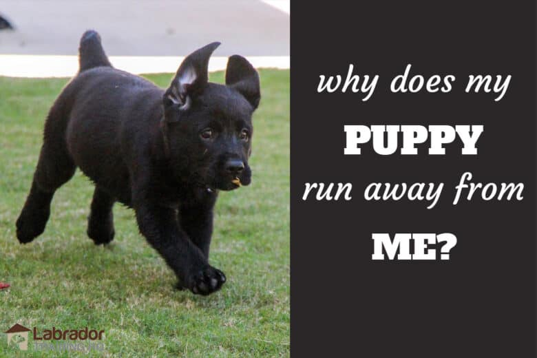 Why Does My Puppy Run Away From Me? Black Lab puppy running across the lawn with a leaf in her mouth.