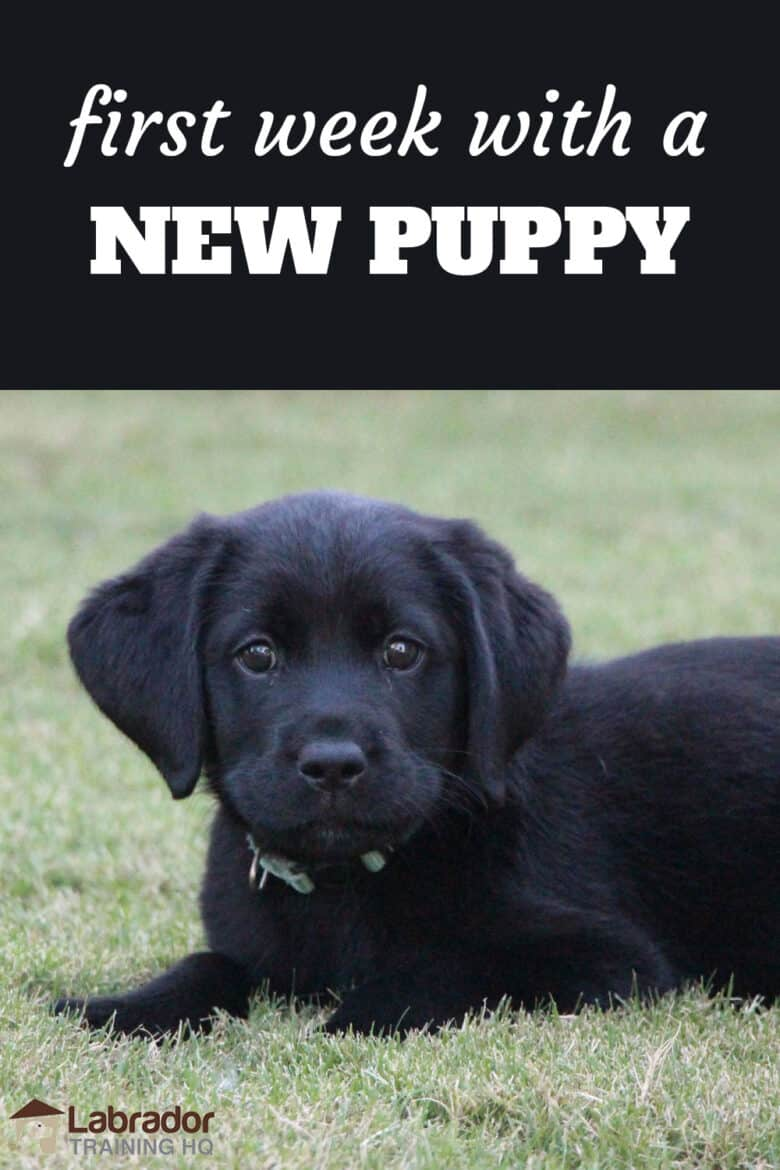 First Week With A New Puppy - Black Lab puppy in a down stay in the grass staring back at the camera.