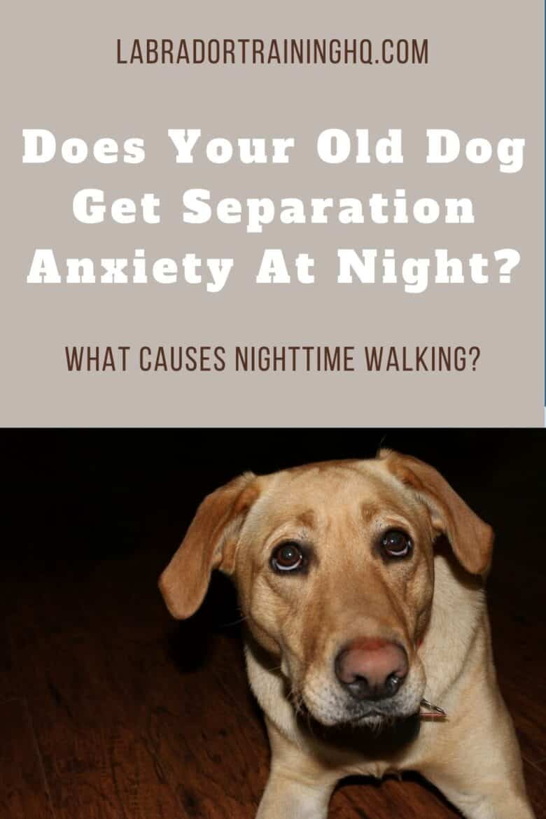 Does Your Old Dog Get Separation Anxiety At Night? - What Causes Nighttime Walking?  Yellow Lab looking up anxiously.