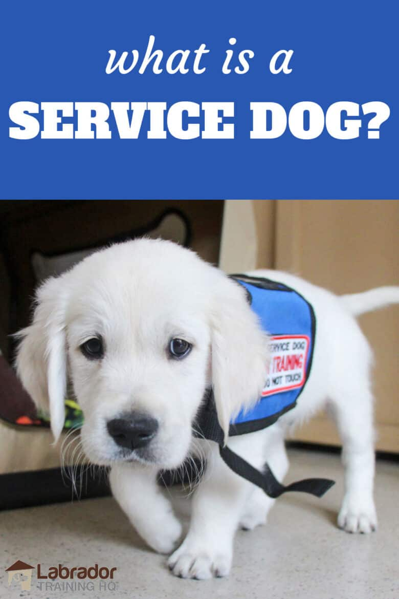 What Is A Service Dog? - Golden Retriever puppy walking towards camera wearing a puppy in training jacket.