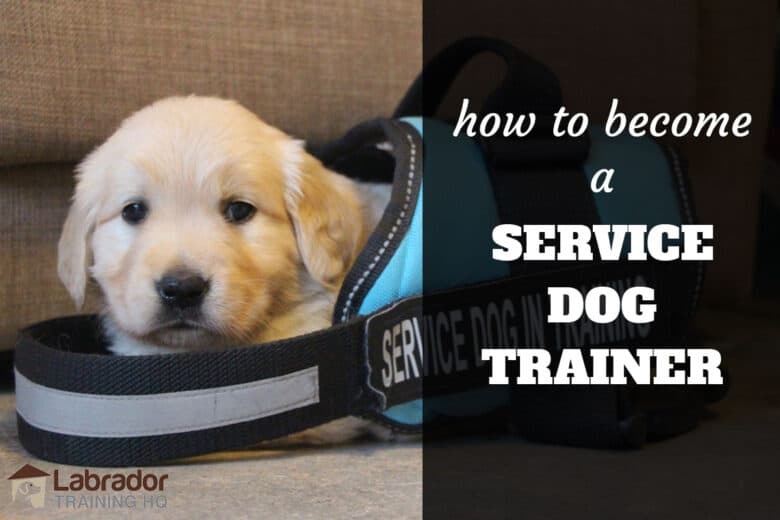 How To Become A Service Dog Trainer - Puppy in a service dog jacket that is way to big for him.