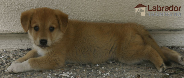 Yellow Shepherd Lab Mix with white chest and paws lying against a white wall on pebble ground