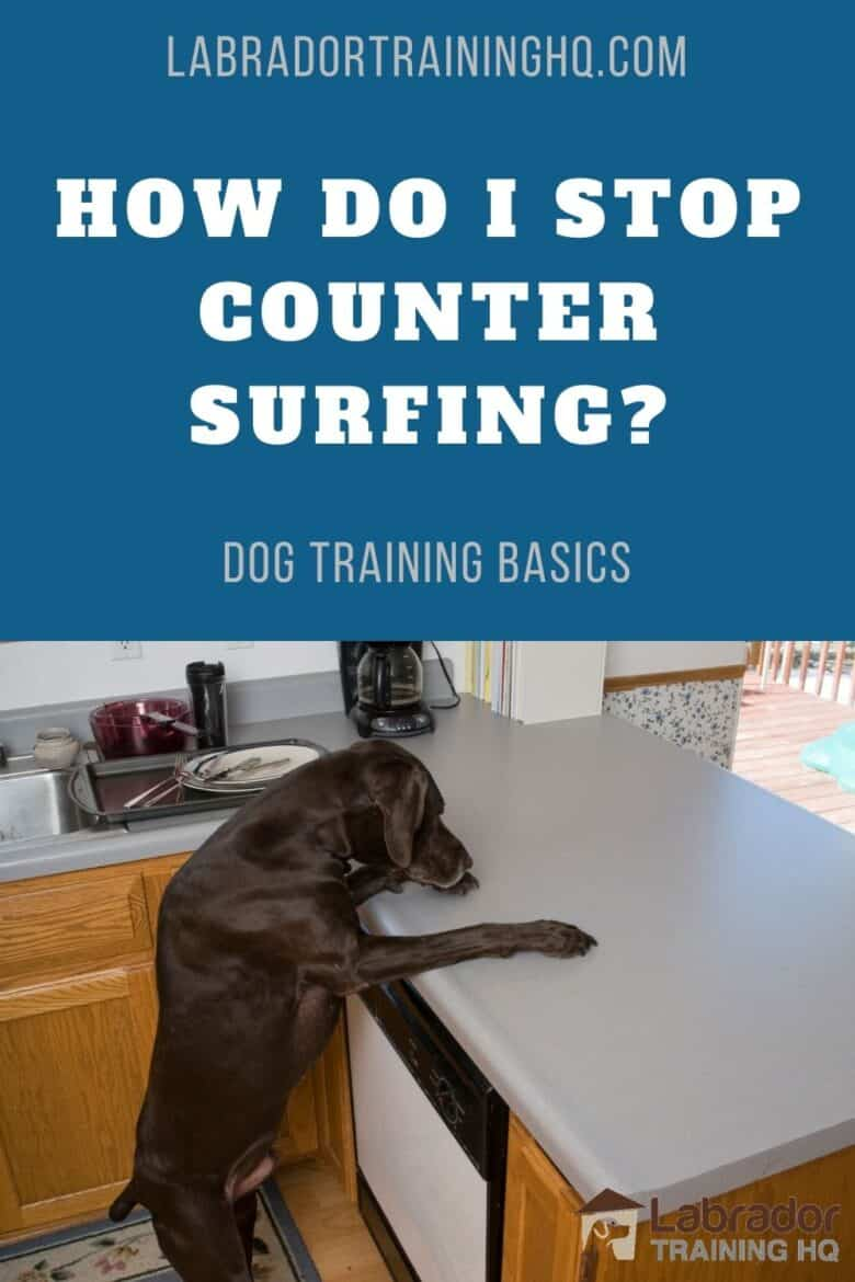 How Do I Stop Counter Surfing? - Chocolate Labrador Retriever counter surfing in the kitchen.