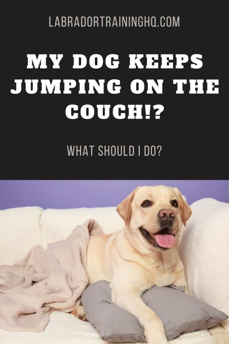 My Dog Keeps Jumping On The Couch!? What Should I Do? - Yellow Lab lying on the couch with blanket and pillow.
