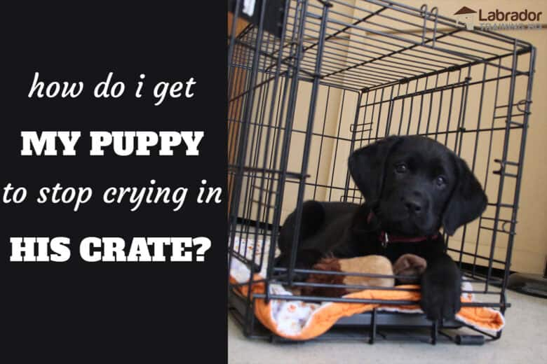 How Do I Get My Puppy To Stop Crying In His Crate? - Black Labrador Retriever puppy down in his wire crate with the door open.