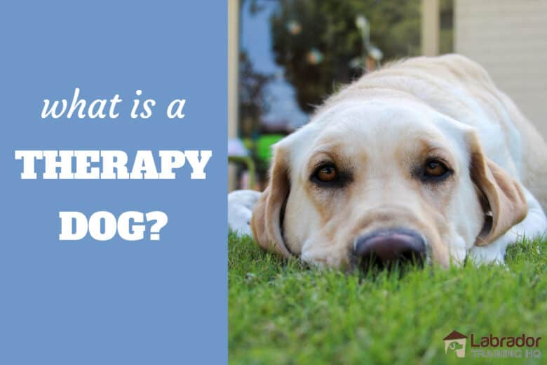 What Is A Therapy Dog? - Yellow Lab lying in the grass staring back at the camera.