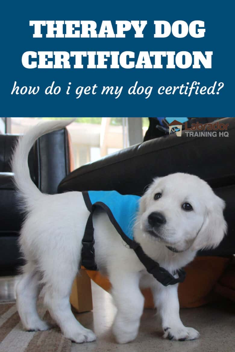 Therapy Dog Certification - How Do I Get My Dog Certified? - Golden Retriever puppy wearing blue therapy dog training vest.