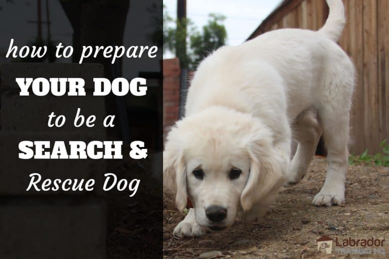 How to prepare your dog to be a search and rescue dog. - Yellow puppy sniffing along dirt path.