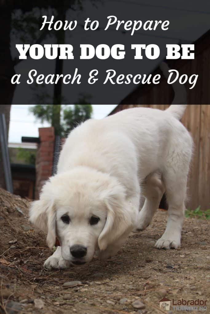 Search and Rescue Dog Training - Yellow puppy sniffs along path.