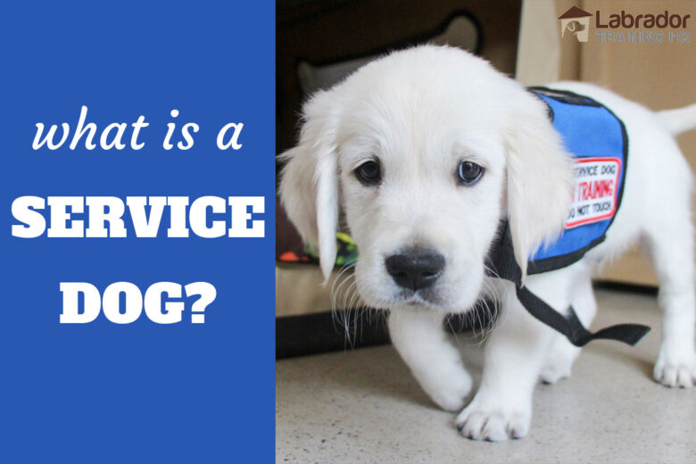 What Is A Service Dog? - White Golden Retriever puppy walking towards camera wearing blue service dog in training vest.